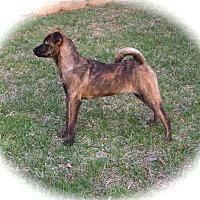 Adopt A Pet :: Dijon - Ijamsville, MD