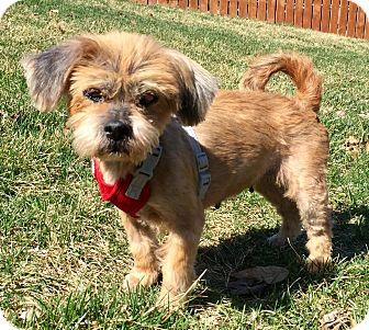 Lhasa Apso Mix Dog for adoption in Lisbon, Iowa - Goldie