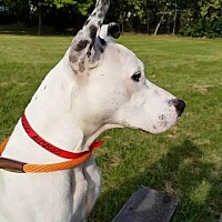Mixed Breed (Medium)/Pit Bull Terrier Mix Dog for adoption in Barrington Hills, Illinois - Maximus