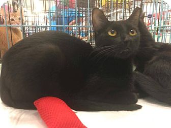 Domestic Mediumhair Cat for adoption in Mansfield, Texas - Little Girl