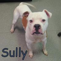 Adopt A Pet :: Sully - Georgetown, SC