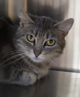 Domestic Shorthair/Domestic Shorthair Mix Cat for adoption in Merrill, Wisconsin - Lucy