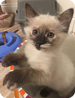 Siamese Kitten for adoption in Tampa, Florida - Shitake