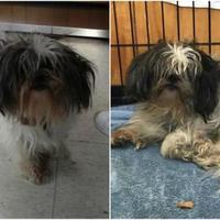 Shih Tzu Mix Dog for adoption in Fairfax Station, Virginia - Bling