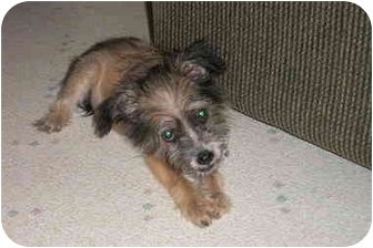 Terrier (Unknown Type, Small)/Chihuahua Mix Puppy for adoption in San Diego, California - Patches