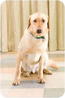 Golden Retriever/Labrador Retriever Mix Dog for adoption in Portland, Oregon - Cole