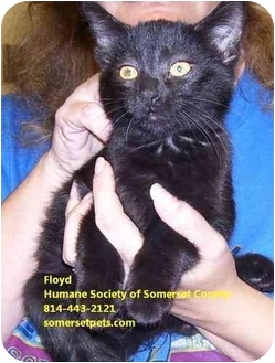 Domestic Shorthair Cat for adoption in Somerset, Pennsylvania - Floyd