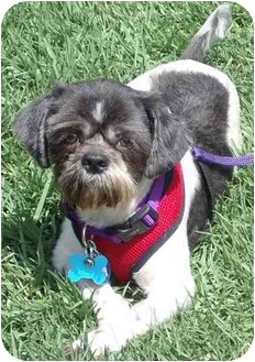 Shih Tzu Mix Dog for adoption in Los Angeles, California - Domino