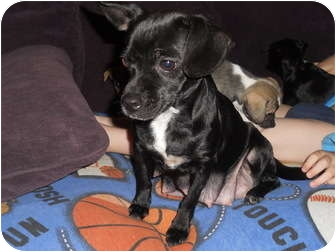 Dachshund/Chihuahua Mix Dog for adoption in Salem, Oregon - Tootsie