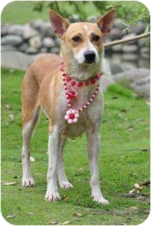 Terrier (Unknown Type, Medium) Mix Dog for adoption in Encino, California - Liliana