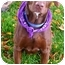 Photo 3 - Labrador Retriever/German Shorthaired Pointer Mix Dog for adoption in Sacramento, California - Gunner best companion, tv budd