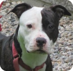 American Pit Bull Terrier Mix Dog for adoption in Bloomfield, Connecticut - Radisson