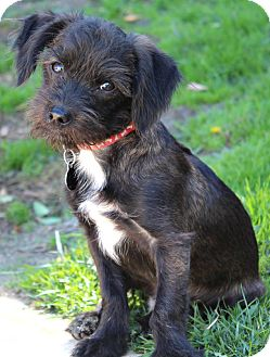 Terrier (Unknown Type, Small)/Chihuahua Mix Puppy for adoption in Los Angeles, California - Mookie-I do not shed!