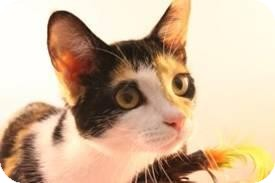 Manx Cat for adoption in Simpsonville, South Carolina - Paris