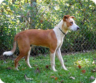 Hound (Unknown Type)/Terrier (Unknown Type, Medium) Mix Dog for adoption in Sylva, North Carolina - Dandy Dan
