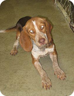 Beagle Dog for adoption in Florence, Indiana - Nutmeg