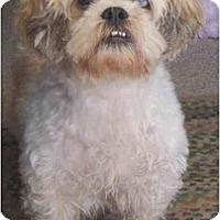 Adopt A Pet :: Louie - Mesa, AZ