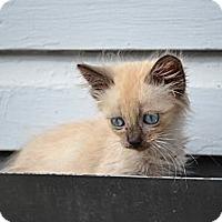 Adopt A Pet :: Mocha - Fort Worth, TX