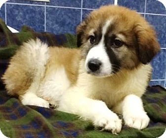 Great Pyrenees/St. Bernard Mix Puppy for adoption in Bartonsville, Pennsylvania - Leila