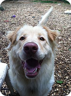 Golden Retriever Mix Dog for adoption in Baltimore, Maryland - Goldie