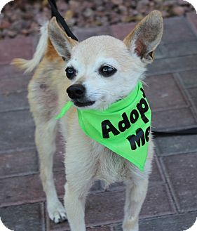 Chihuahua Mix Dog for adoption in Las Vegas, Nevada - CHINO