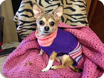 Chihuahua Dog for adoption in Youngstown, Ohio - Chica ~ Adoption Pending