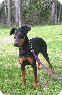 Doberman Pinscher Dog for adoption in Arlington, Virginia - Kadie