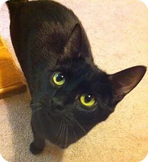 Domestic Shorthair Cat for adoption in Bellingham, Washington - Friday