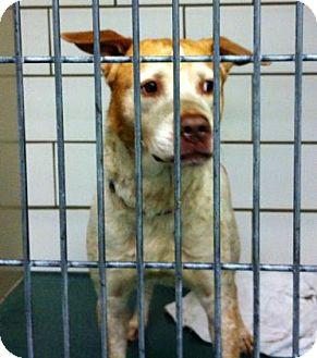 Retriever (Unknown Type)/Shepherd (Unknown Type) Mix Dog for adoption in Cleveland, Ohio - Bodie