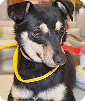 Chihuahua Mix Dog for adoption in Spokane, Washington - Star