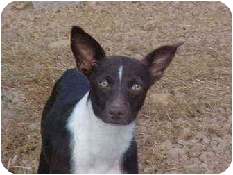 Chihuahua Mix Dog for adoption in Burnsville, North Carolina - Spook