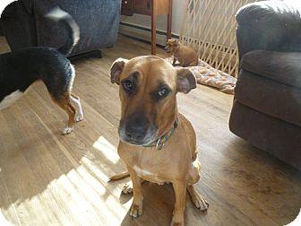 Labrador Retriever/Hound (Unknown Type) Mix Dog for adoption in Glastonbury, Connecticut - harlowe