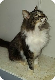 Maine Coon Cat for adoption in Sunny Isles Beach, Florida - Mia