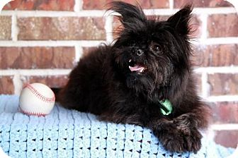 Affenpinscher Dog for adoption in Dallas, Texas - Brinkly