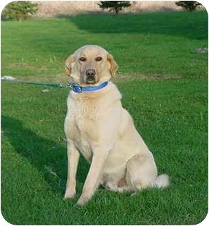 Labrador Retriever/Shepherd (Unknown Type) Mix Dog for adoption in Austin, Minnesota - Luke