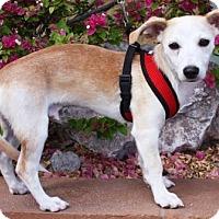 Adopt A Pet :: Mango - Gilbert, AZ