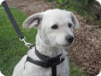 Poodle (Miniature)/Terrier (Unknown Type, Small) Mix Dog for adoption in Carlsbad, California - Hunter