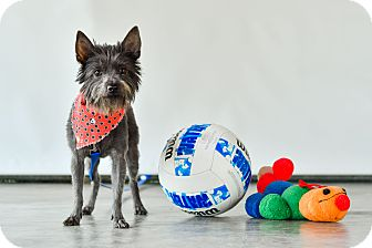 Terrier (Unknown Type, Small) Mix Dog for adoption in Calgary, Alberta - Coco