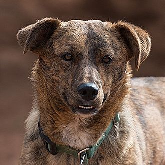 Australian Cattle Dog Dog for adoption in Kanab, Utah - Luella