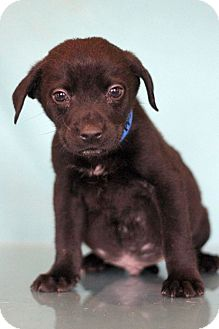 Pointer Mix Puppy for adoption in Waldorf, Maryland - Freddy