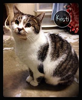Domestic Shorthair Cat for adoption in Hartford City, Indiana - Kristi