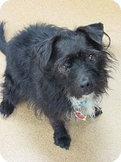 Patterdale Terrier (Fell Terrier) Mix Dog for adoption in Norwalk, Connecticut - Noah