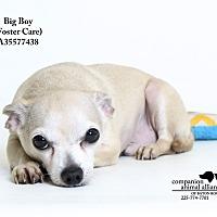 Adopt A Pet :: Big Boy  (Foster Care) - Baton Rouge, LA
