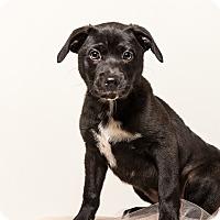 Labrador Retriever Mix Puppy for adoption in Nashville, Tennessee - LENA