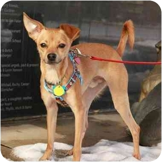 Chihuahua/Italian Greyhound Mix Dog for adoption in Denver, Colorado - Nicco