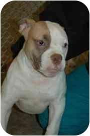 American Bulldog Mix Puppy for adoption in Walker, Michigan - Atticus