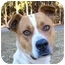 Photo 1 - American Bulldog/Akita Mix Dog for adoption in Mocksville, North Carolina - Scarlett