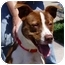 Photo 4 - Border Collie/American Pit Bull Terrier Mix Dog for adoption in Berkeley, California - Dash