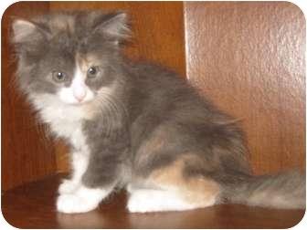 Maine Coon Kitten for adoption in Dallas, Texas - Beyaz