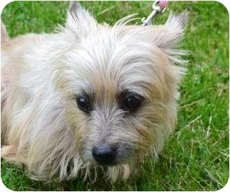 Cairn Terrier Mix Dog for adoption in Davison, Michigan - Cinnamon